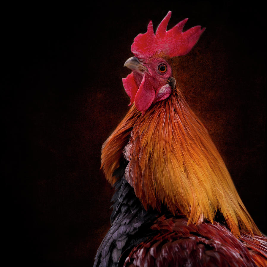 Red Jungle Fowl Photograph - Red Jungle Fowl Rooster by Diana Andersen