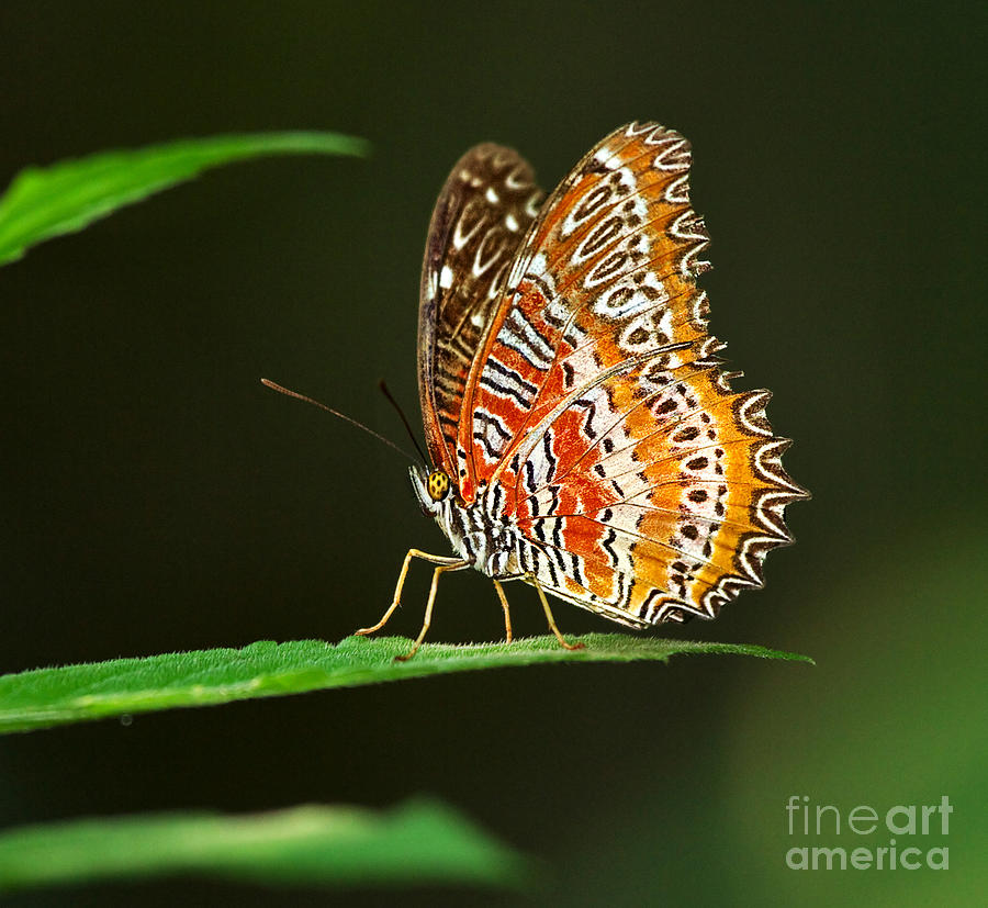 Butterfly Photograph - Red Lacewing Butterfly by Louise Heusinkveld