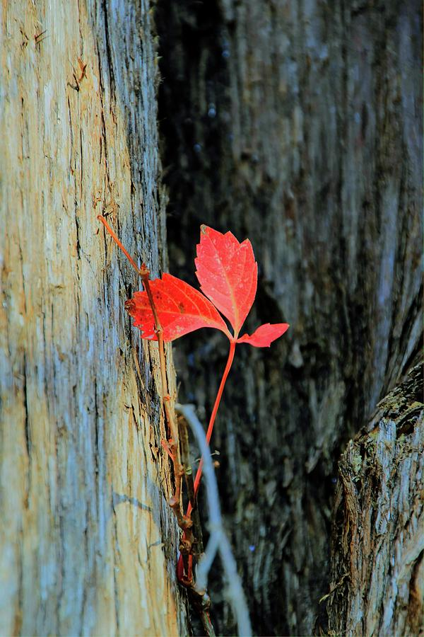 Tree Photograph - Red Leaf by Douglas Settle