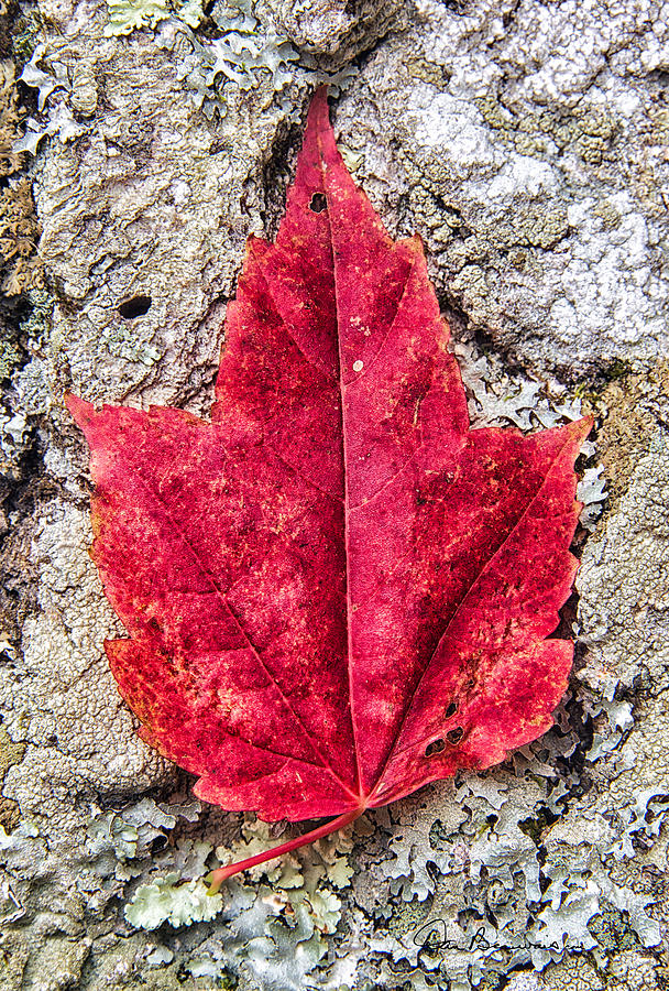 Red Leaf, Lichen 8797 Photograph