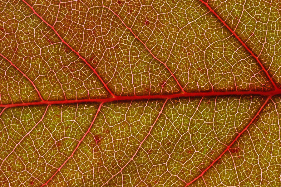 Red Photograph - Red Leaf Macro by Frank Tschakert