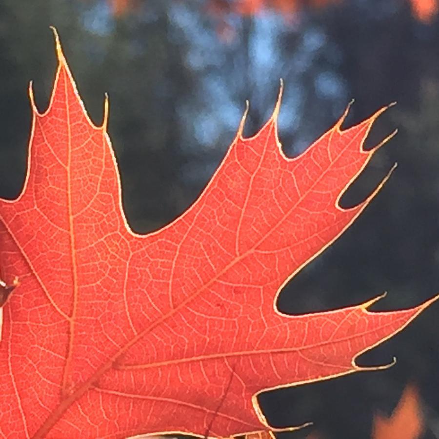 Leaf Photograph - Red Leaf by Vonda Drees