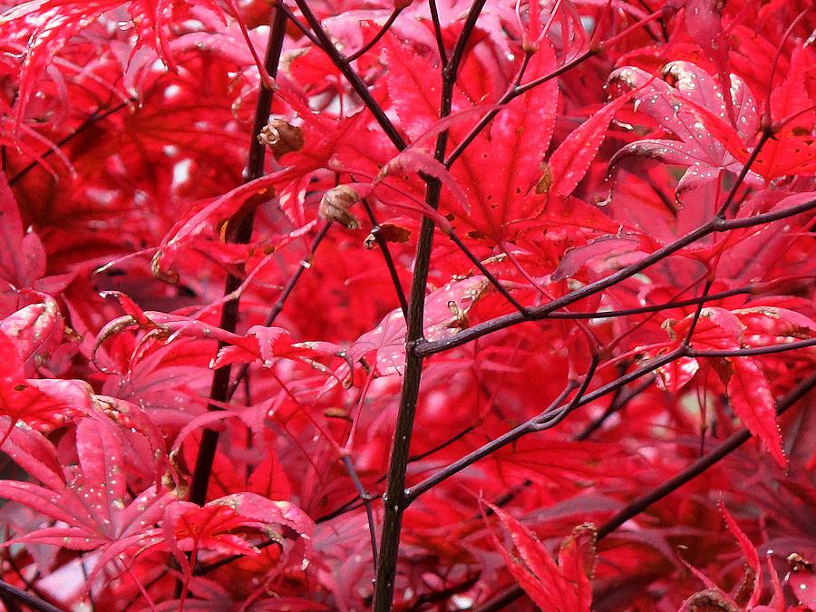 Red Photograph - Red Leaves And Stems 2 Pd by Lyle Crump
