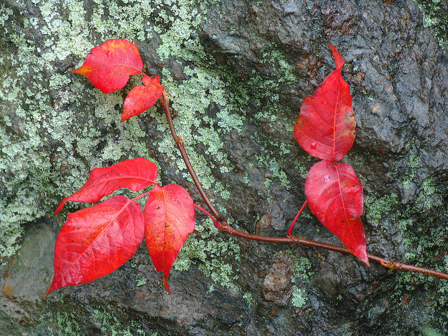 Autumn Photograph - Red Leaves by Juergen Roth