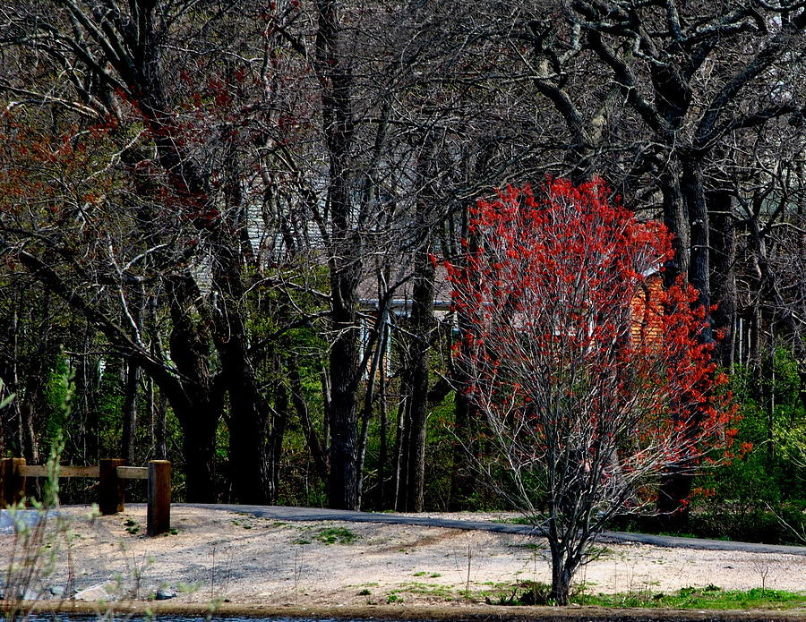 Landscape Photograph - Red Leaves On Tree by Robert Scauzillo