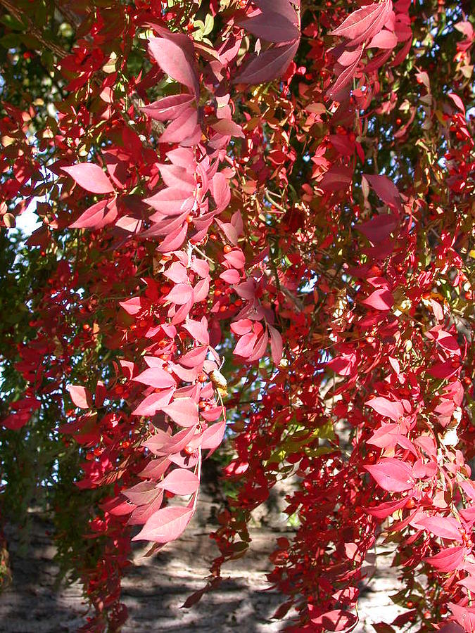 Tree Photograph - Red Leaves by Susan Boyes