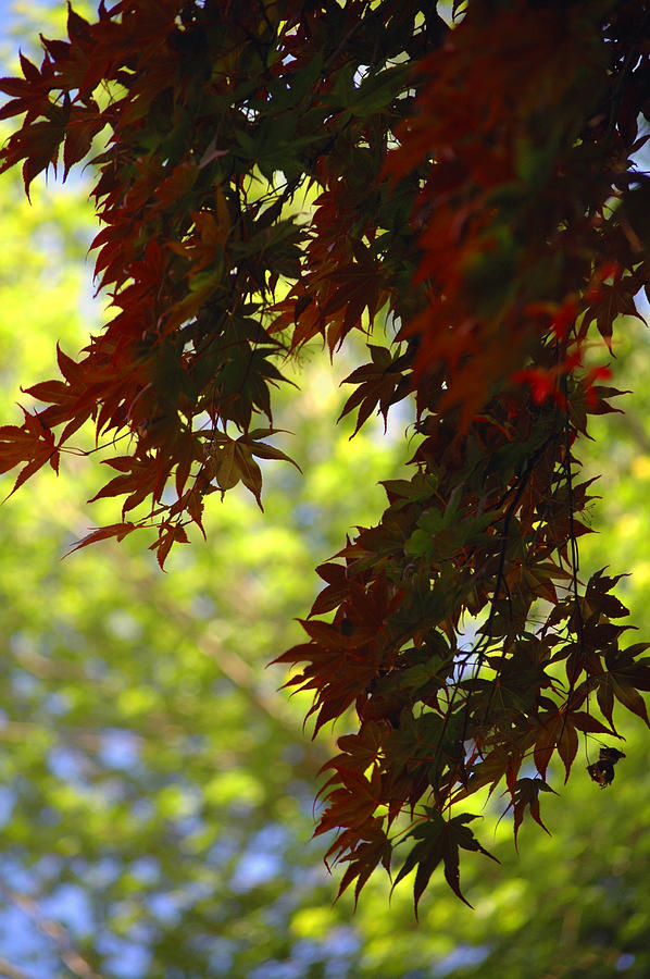 Nature Photograph - Red Leaves by Tito Santiago
