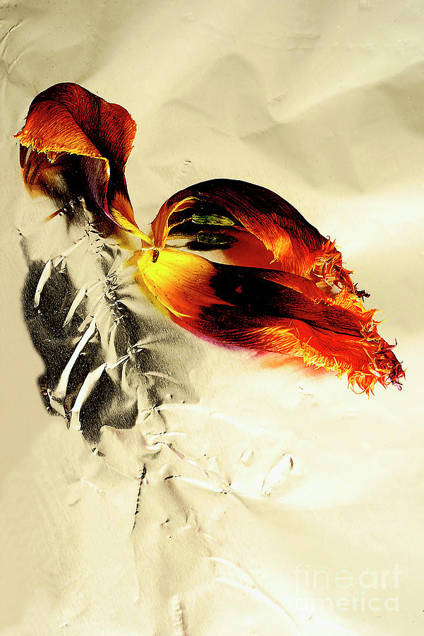 Red Lily. Photograph