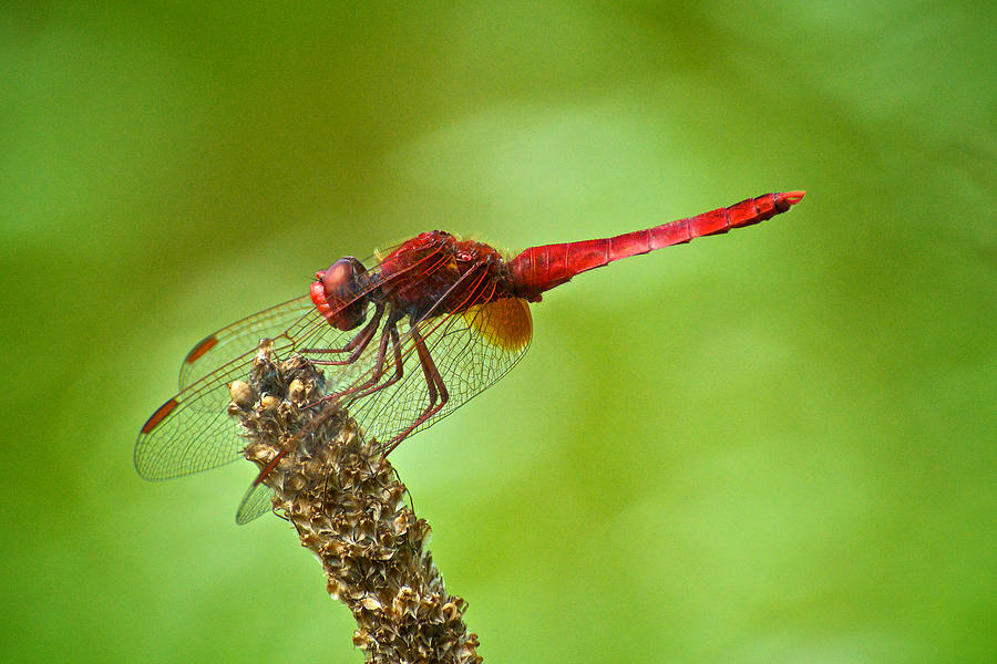 Insect Photograph - Red Male Dragonfly Crocothemis Erythraea Perching by Igor Voljch