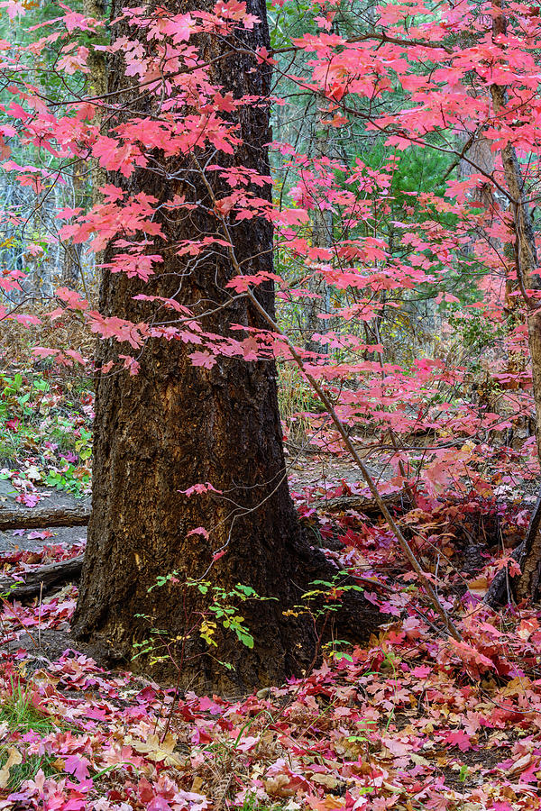 Red Maple Forest Photograph