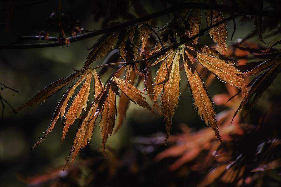 Maple Lace by Ken Foster