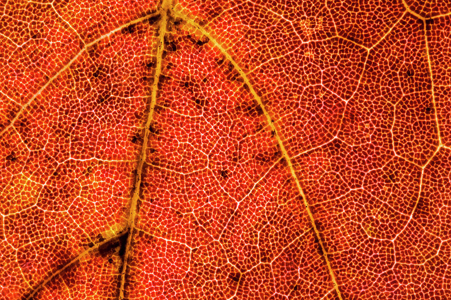 Maple Leaf Photograph - Red Maple Leaf Close-up by Lonnie Paulson