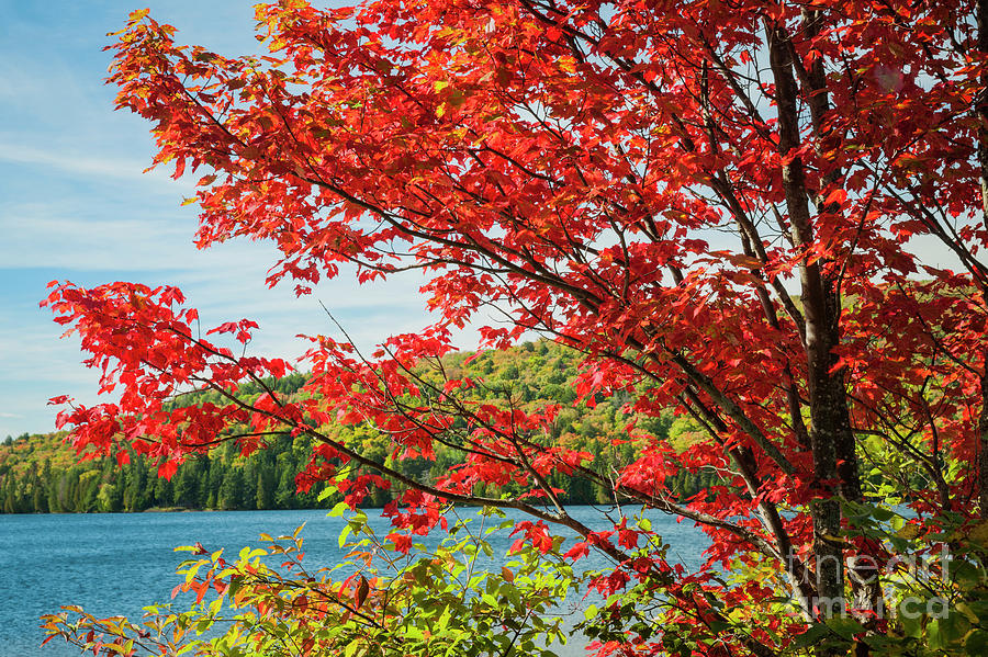 Fall Photograph - Red Maple On Lake Shore by Elena Elisseeva