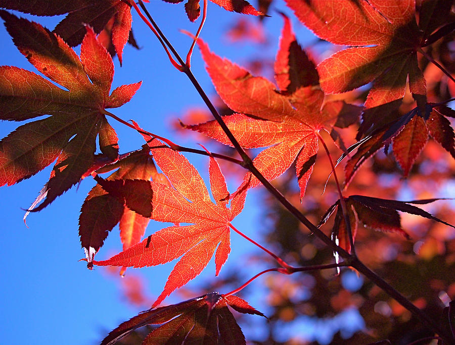 Japanese Maple Photograph - Red Maple by Rona Black