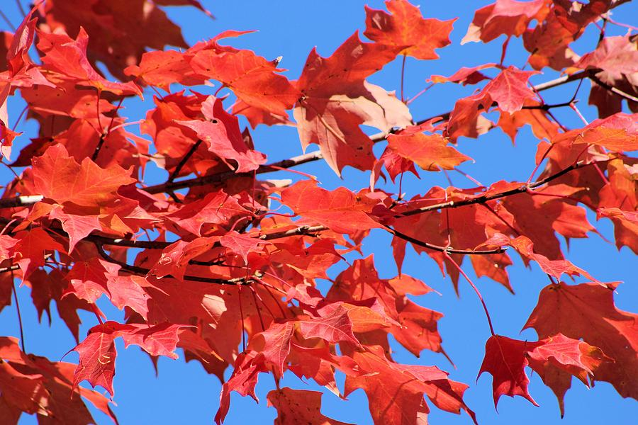 Red Maple Photograph