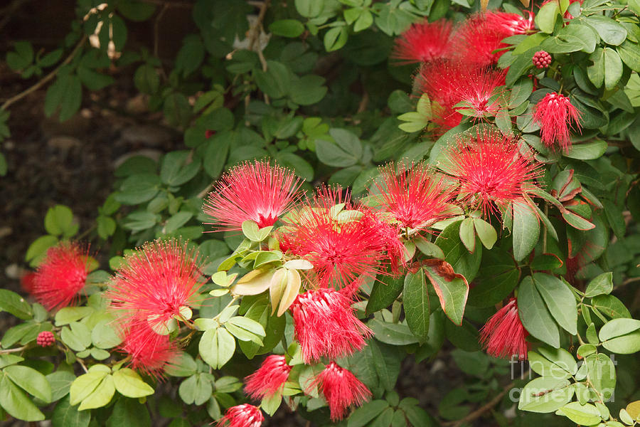 Red Mimosa Flowers by Charles Kozierok