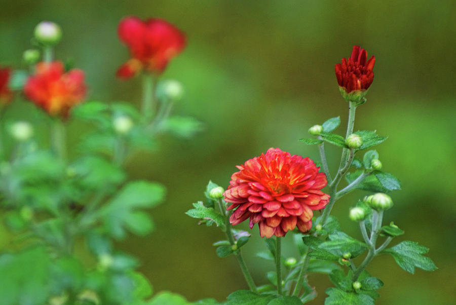 Red Mums by Rick Friedle