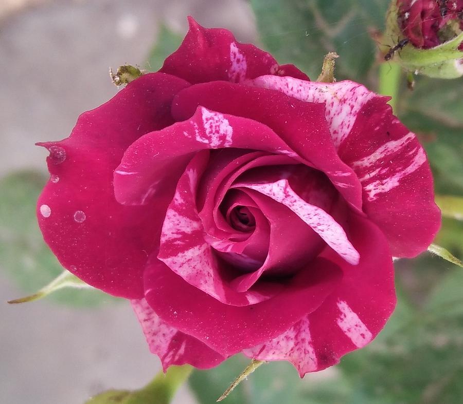 Rose Photograph - Red N White Rose by Nishigandha Gaikwad