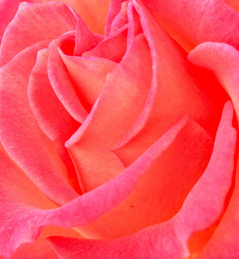 Photograph Of Rose Photograph - Red No More by Gwyn Newcombe