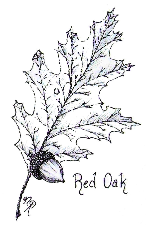 Red Oak Drawing - Red Oak leaf and acorn by Nicole Angell