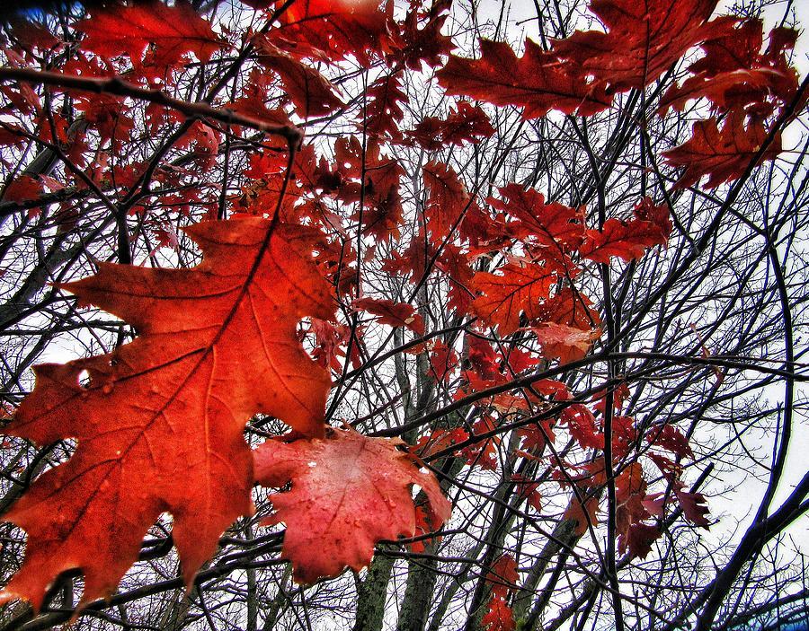 Leaves Photograph - Red Oaks by Scott Wendt Tom Wierciak