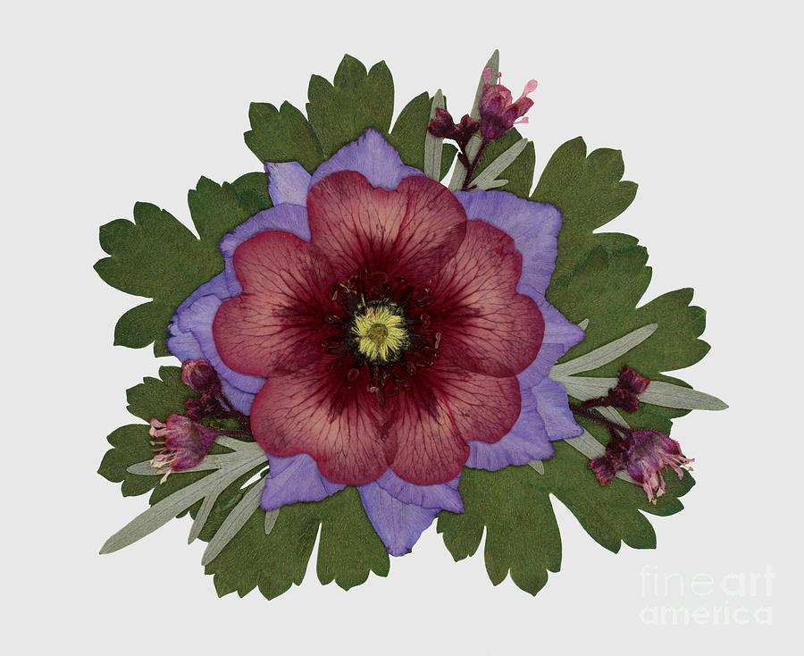 Red Open Faced Potentilla Pressed Flower Arrangement by Em Witherspoon