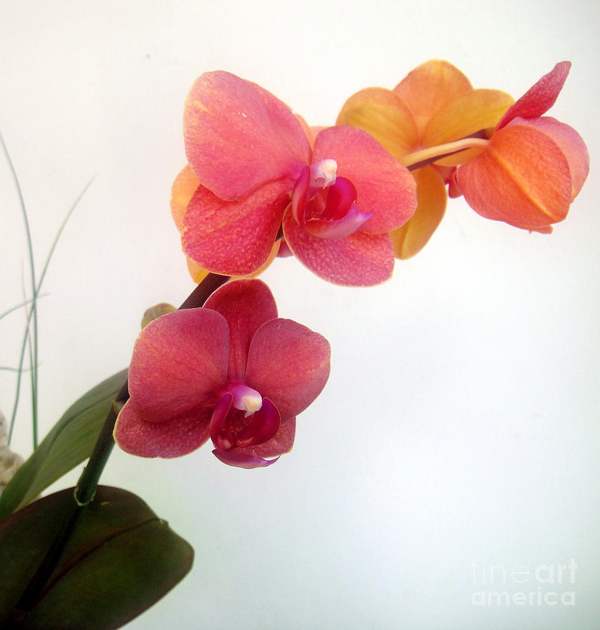 Orchid Flower Photograph - Red Pink Golden Orchid Flowers 03 by Sofia Metal Queen