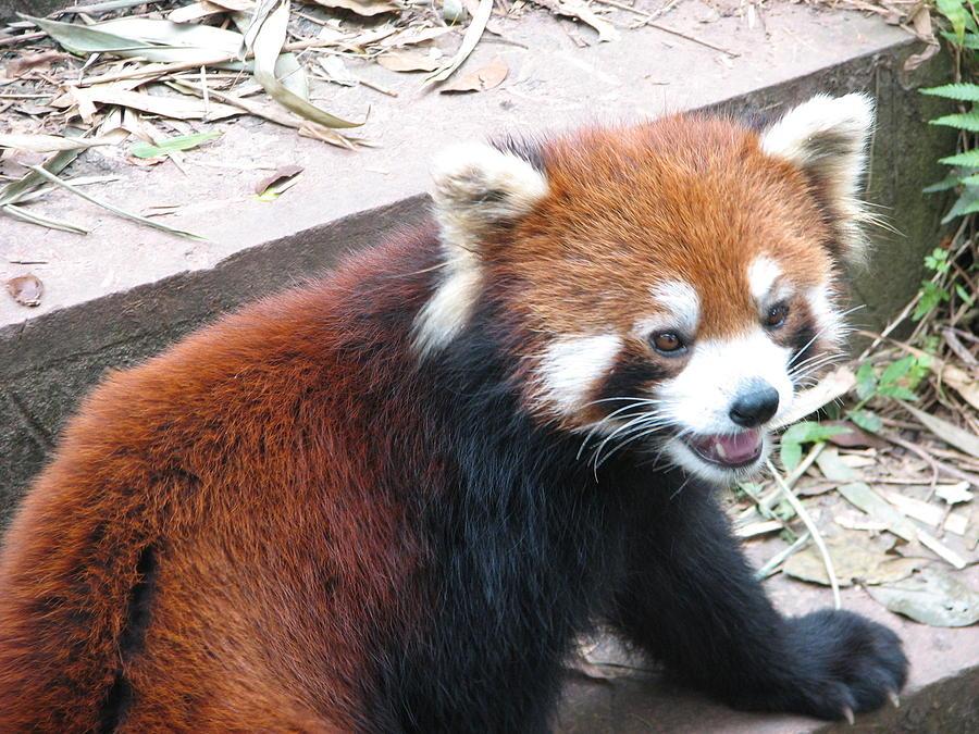Bear Photograph - Red Panda by Carla Parris