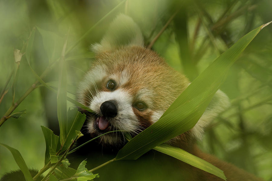 Red Photograph - Red Panda by David Stanley