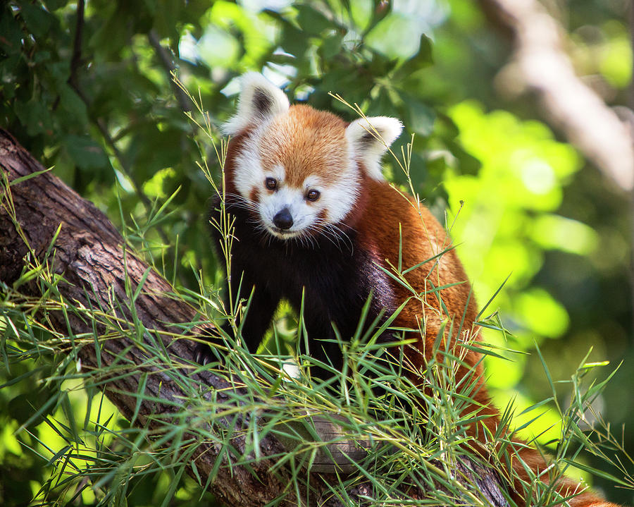 Red Panda In Tree Photograph