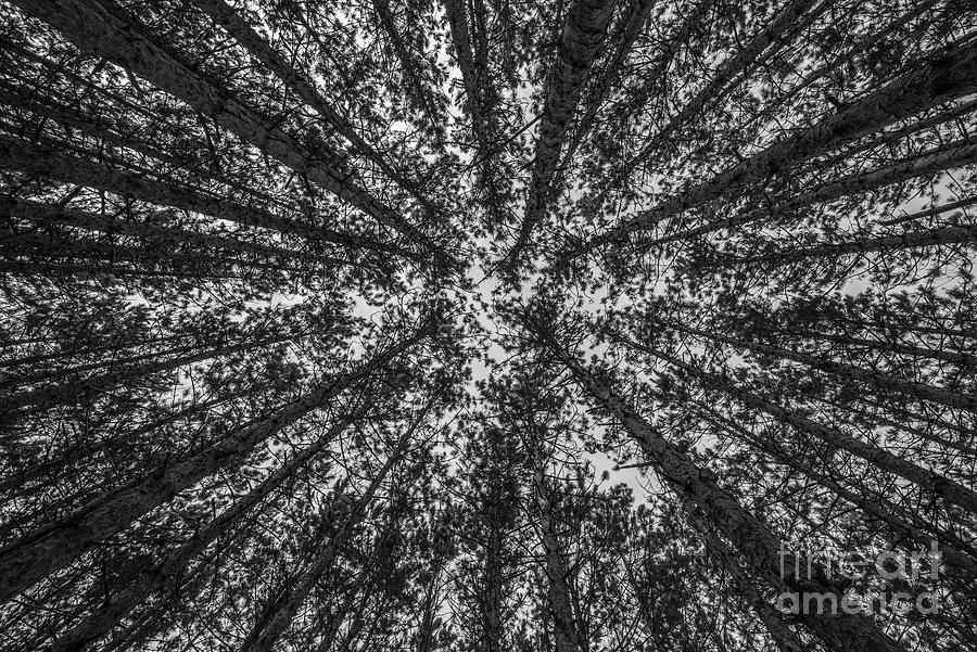 Red Pine Tree Tops in Black and White by Sue Smith