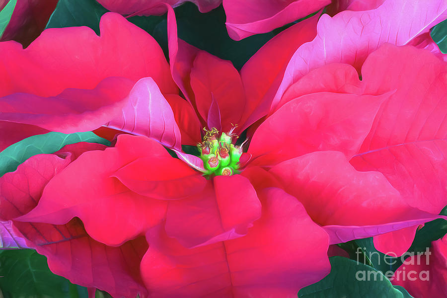 Red Poinsettia Photograph