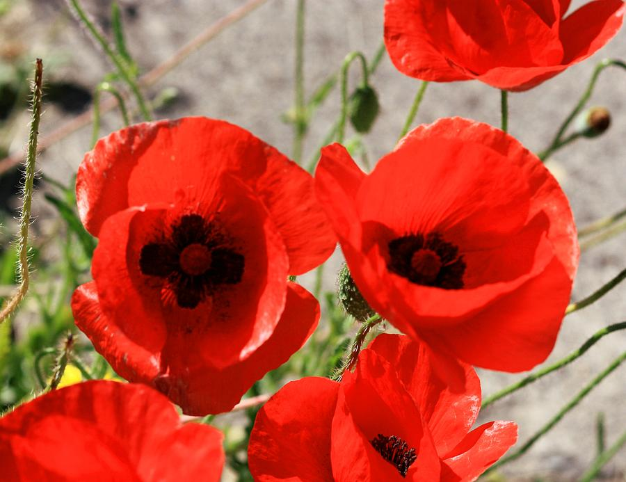 Red Photograph - Red Poppies 2 by Sandra Price