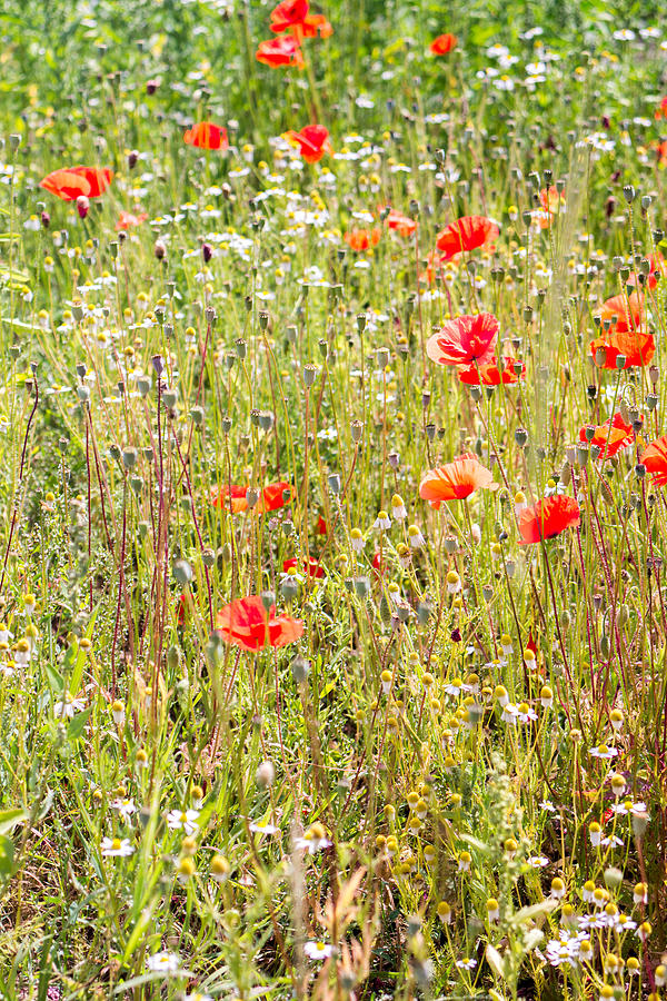 Nature Photograph - Red Poppies And Wild Flowers by Pati Photography