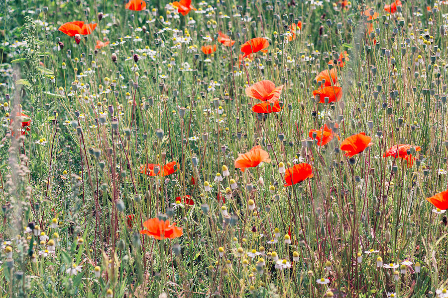 Nature Photograph - Red Poppies In A Summer Sun by Pati Photography