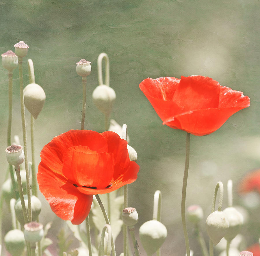 Red Flower Photograph - Red Poppies by Kim Hojnacki