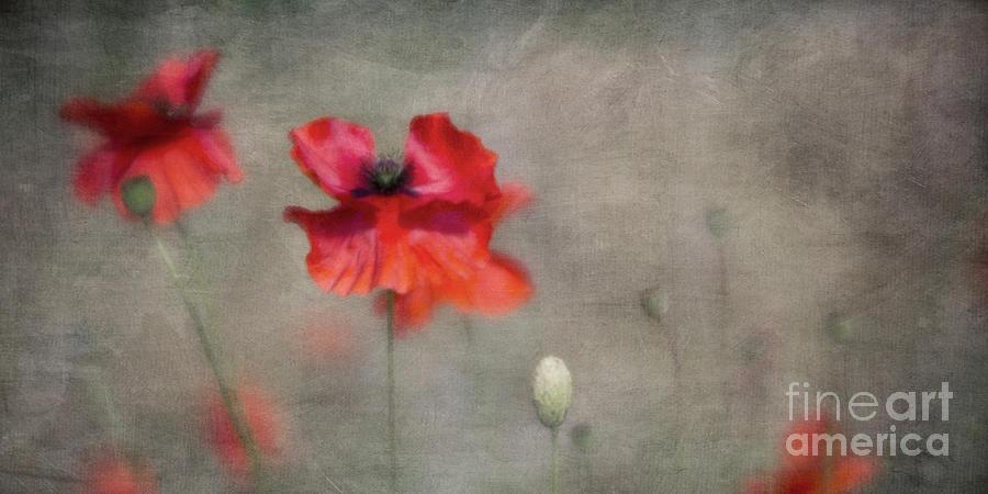 Poppies Photograph - Red Poppies by Priska Wettstein
