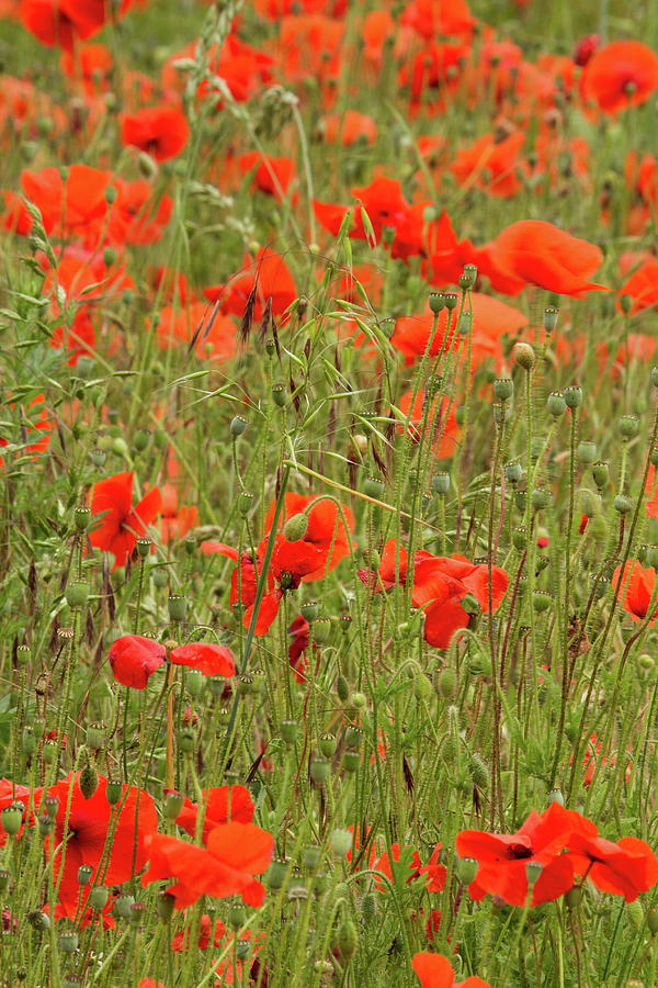 Poppies Photograph - Red Poppies by Wayne Molyneux