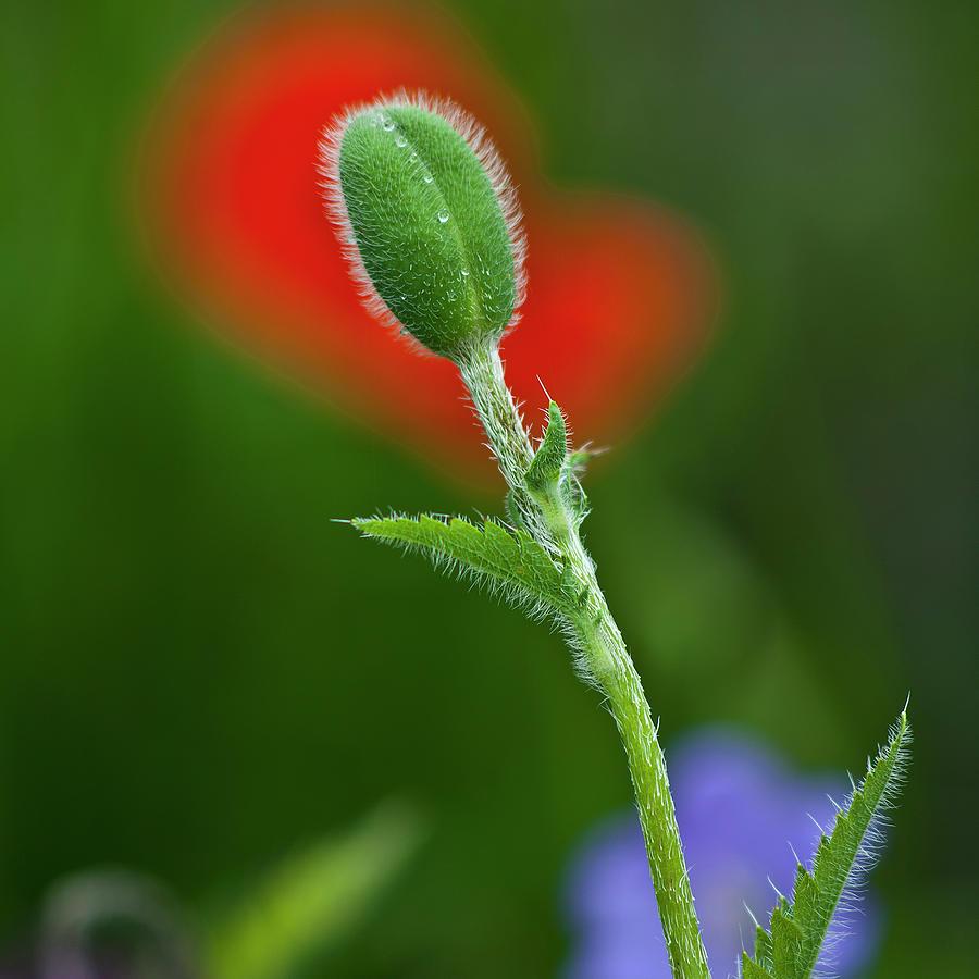 Red Poppy Bud Photograph By Heiko Koehrer Wagner