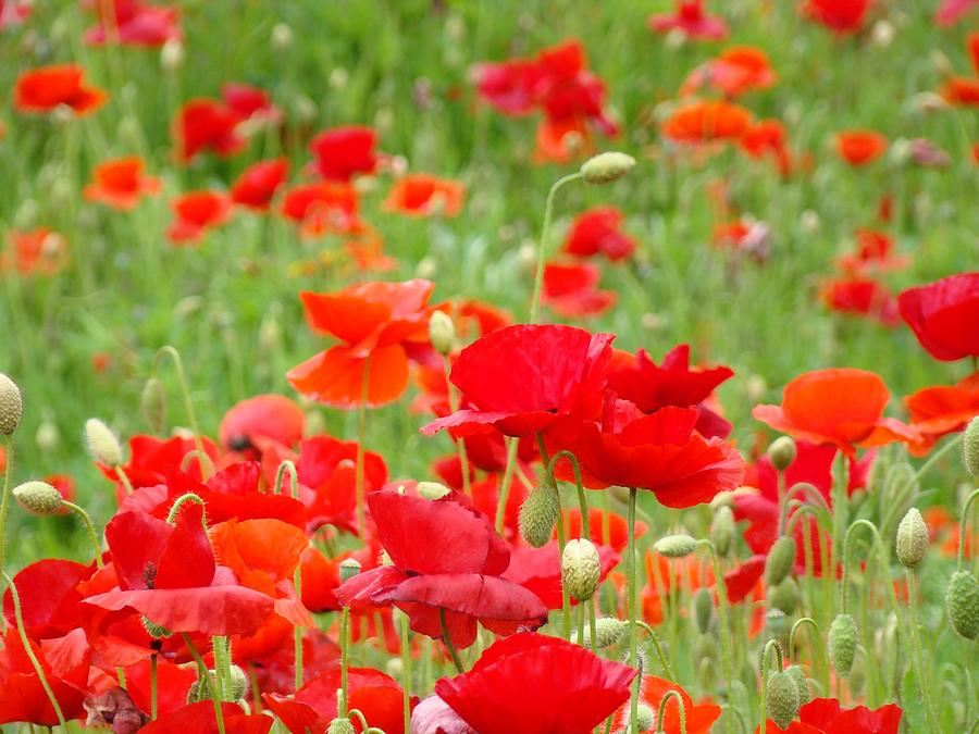 Poppy Photograph - Red Poppy Flowers Meadow Art Prints Poppies Baslee Troutman by Baslee Troutman