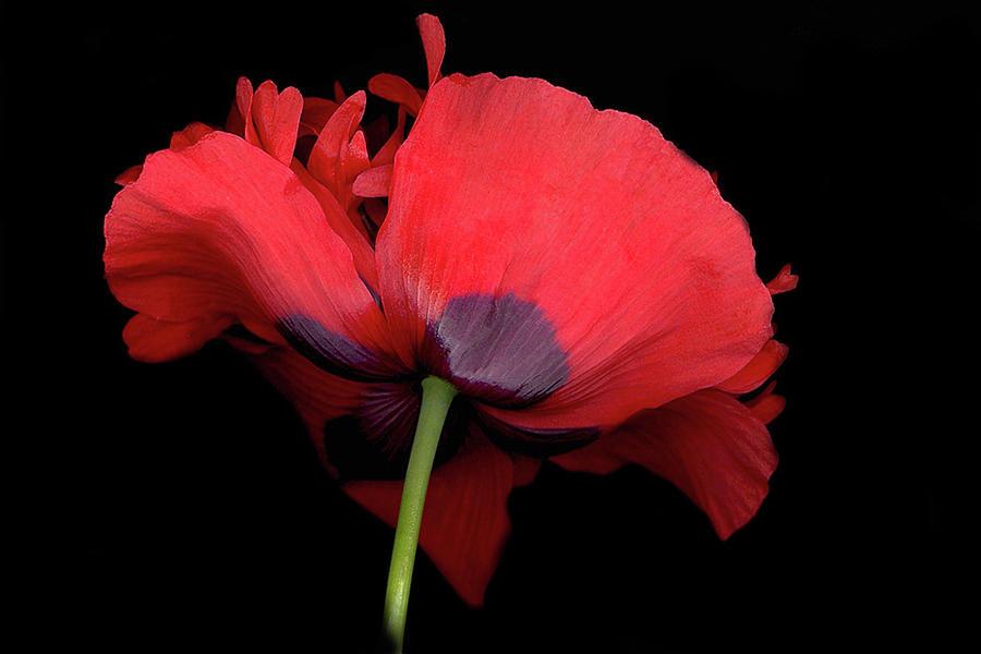 Red Poppy Digital Art - RED Poppy by Sandi F Hutchins