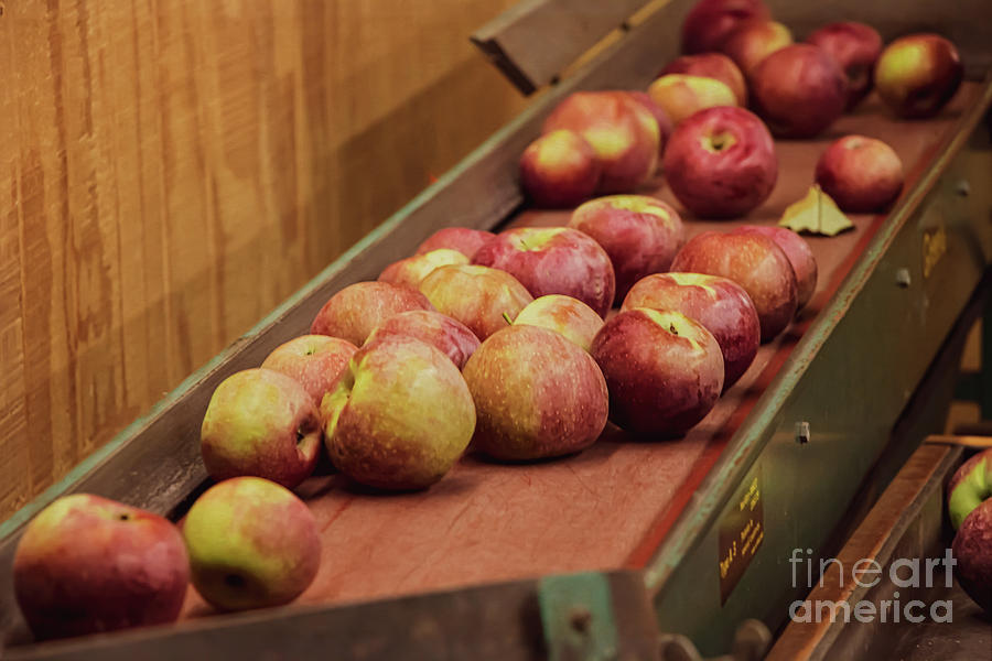 Red Ripe Macintosh Apples Photograph