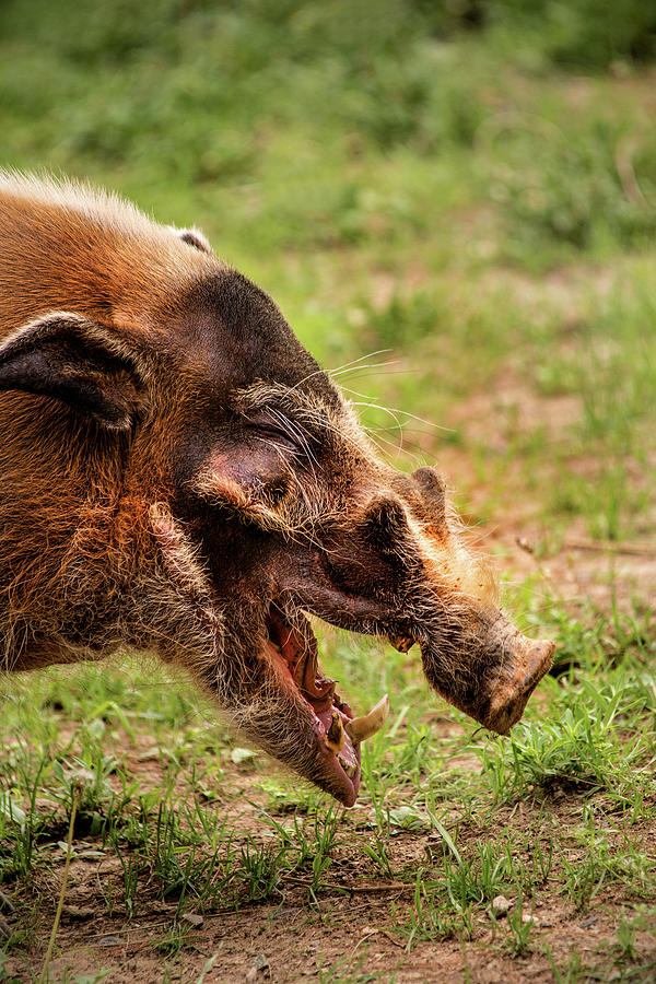 Wildlife Photograph - Red River Hog by Don Johnson
