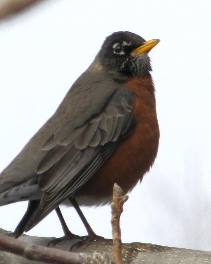 Robin Photograph - Red Robin by Lisa Jayne Konopka