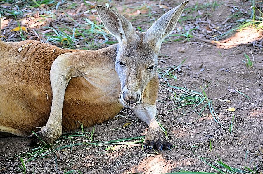 Animals Photograph - Red Roo Resting by Jan Amiss Photography