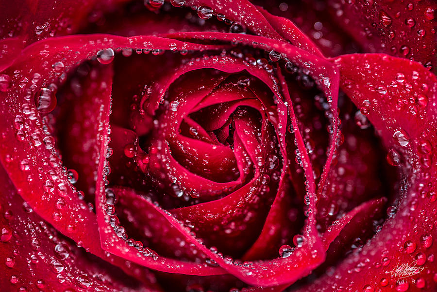 Red Rose Photograph by Adnan Bhatti