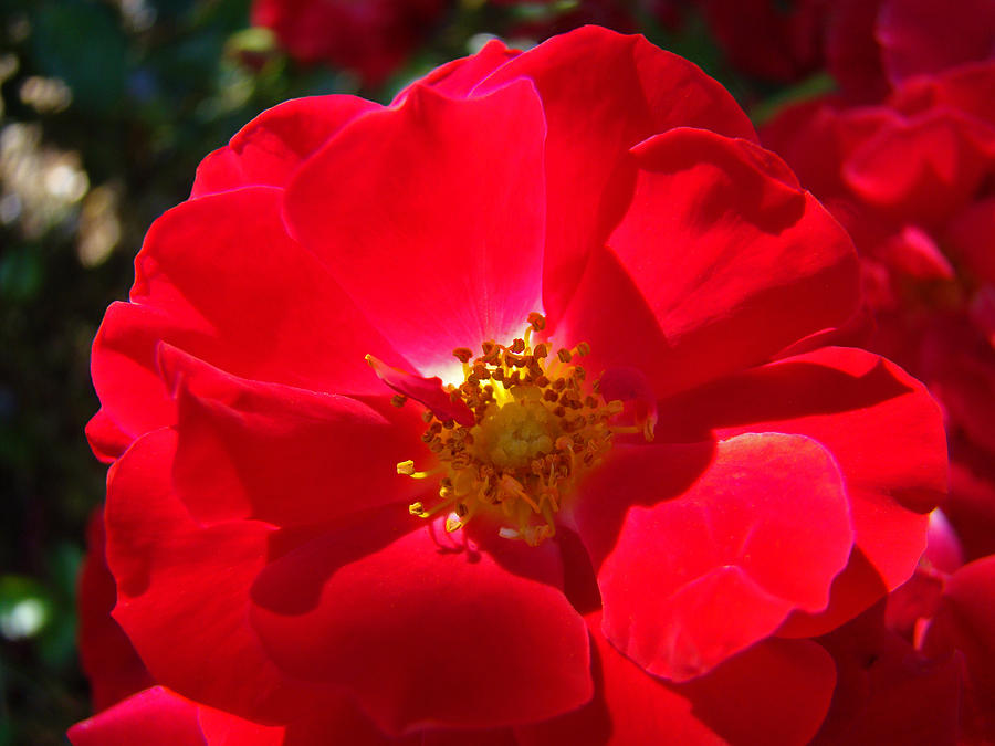 Rose Photograph - Red Rose Art Print Sunlit Roses Botanical Giclee Baslee Troutman by Baslee Troutman