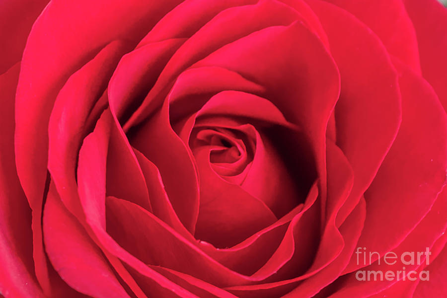 Red Rose Close Up Photograph