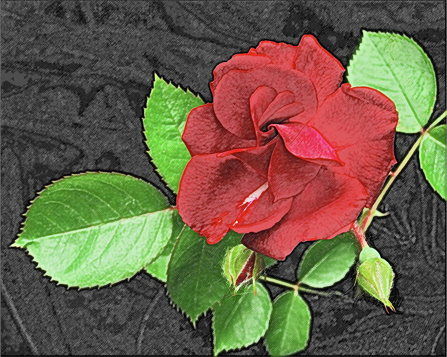 Rose Photograph - Red Rose For My Lady by Michael Peychich