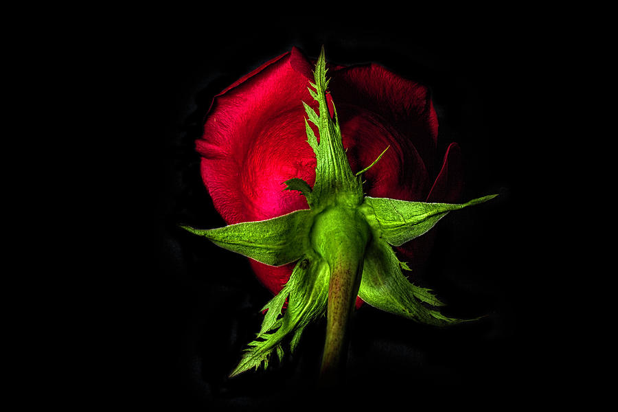 Red Photograph - Red Rose In Reverse by Zev Steinhardt